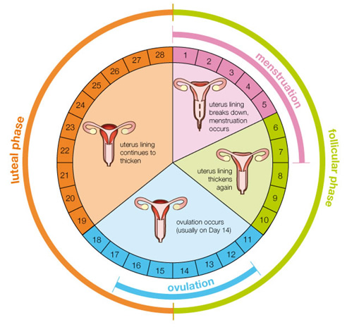 Menstrual Cycle Diagram Phases The menstrual cycle is the