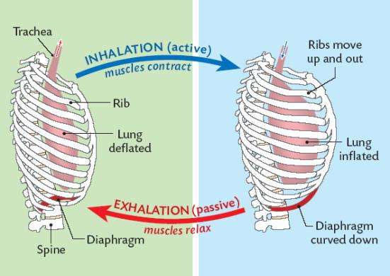 inhalation and exhalation anjung sains makmal 3 rh anjungsainssmkss wordpress com gas exchange inhaling and exhaling diagram