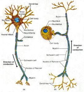 P62 sensory neuron