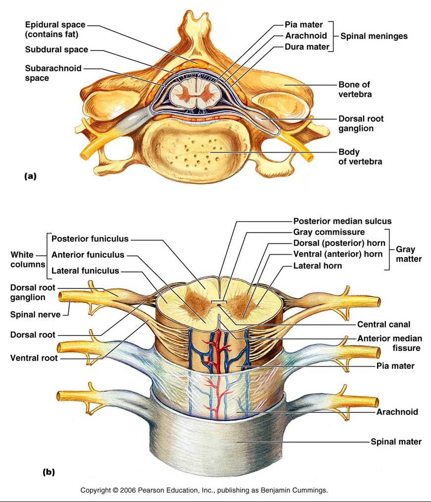 The Vertebrae The Spinal Cord And The Reflex Arc Anjung Sains