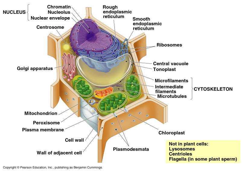 Cellular components of animal and plant cells anjung sains makmal 3 cell organelles ccuart Image collections