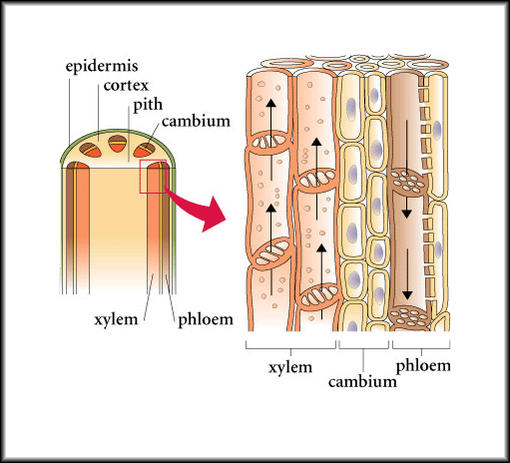 importance of xylem and phloem tissues Xylem vs phloem xylem and phloem are two kinds of plant's vascular tissues they both have functions that are mainly transportation motivated by different nutrients that plants need in order to sustain themselves.