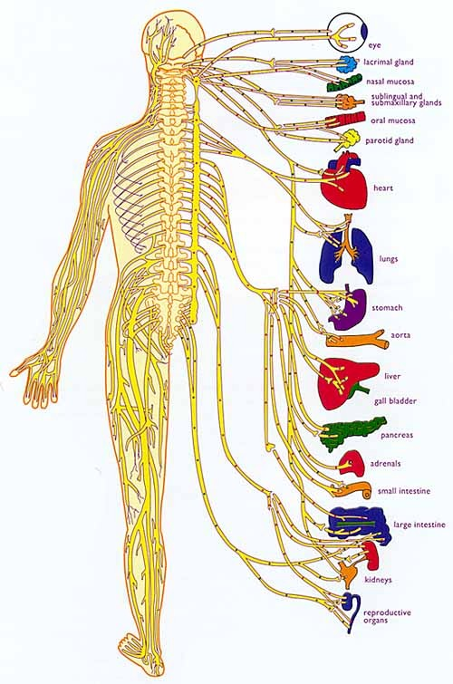 Coordination Between The Nervous System And The Endocrine System