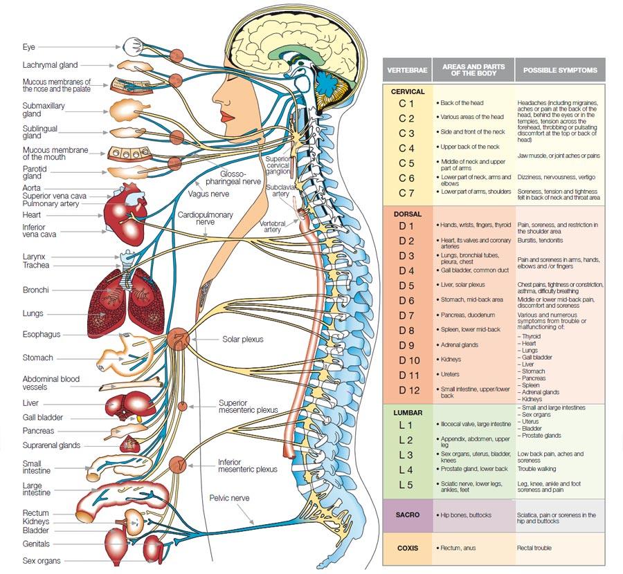 The Human Nervous System Anjung Sains Makmal 3